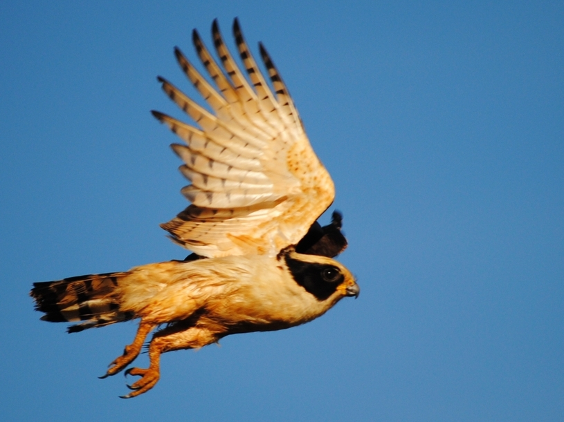 Acau 227 Herpetotheres Cachinnans Aves De Rapina Brasil