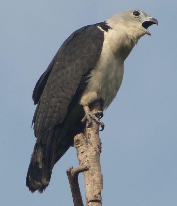 Gavião-de-pescoço-branco