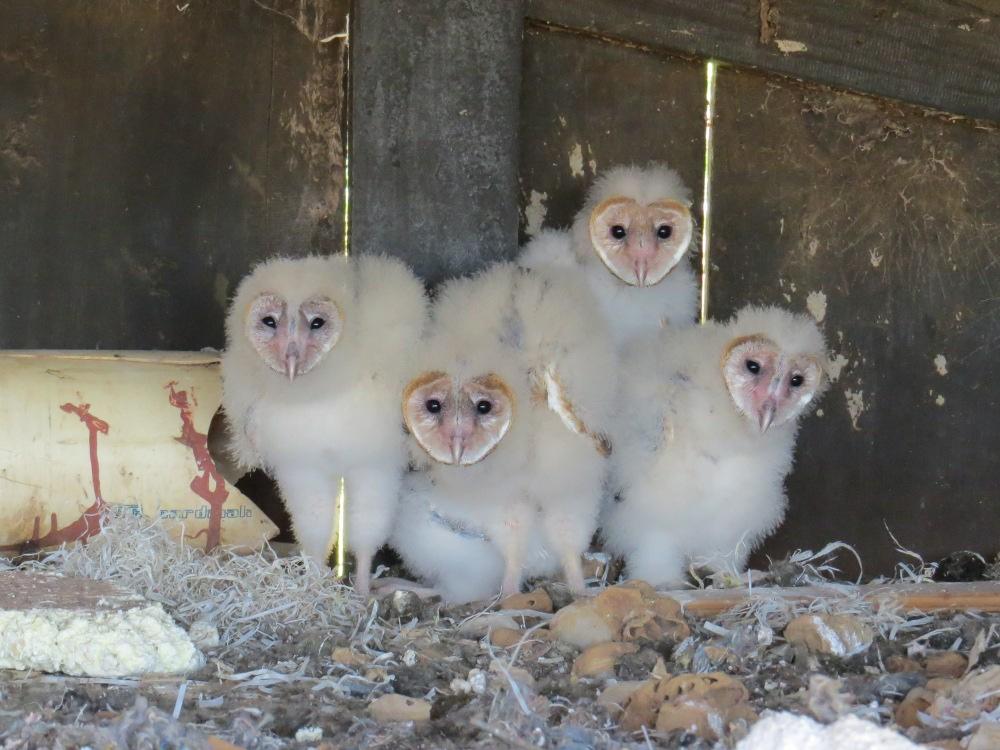 e3ecad76d Suindara (Tyto furcata) | Aves de Rapina Brasil